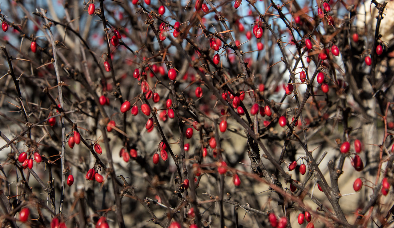 Beauty In Nature Branch Close-up Day Food Food And Drink Freshness Fruit Growth Nature No People Outdoors Red Rose Hip Rowanberry Tree Winter