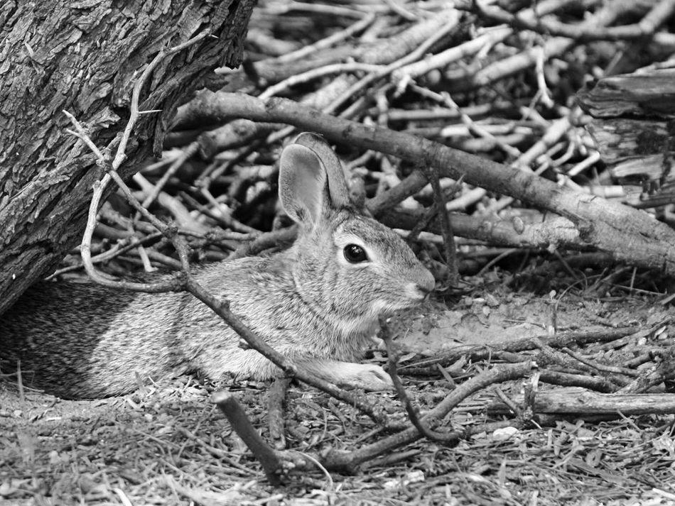 IH20 Wildlife Preserve One Animal Animal Themes Wildlife Nature No People Cottontail Blackandwhite