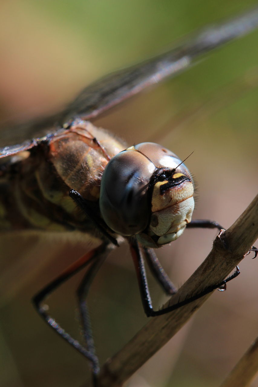 Extreme Close-Up Of Dragonfly On Twig