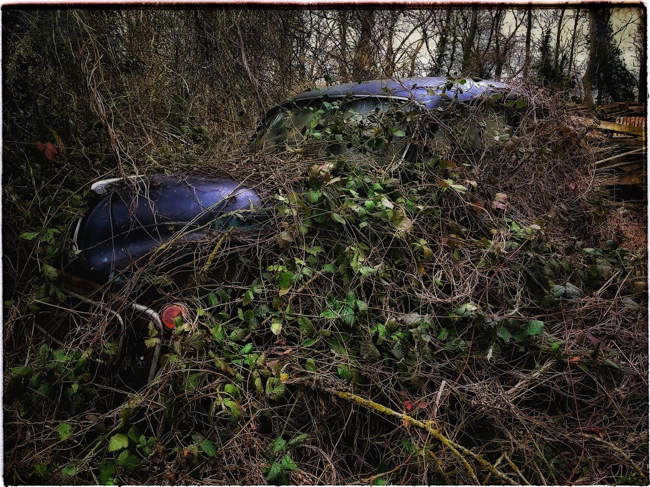 Is this what they mean by an off road parking space? Beauty Of Decay Rusting Metal Rusting Car Morris Minor Overgrown Overgrown And Beautiful Abandoned Abandoned Car Brambles Undergrowth