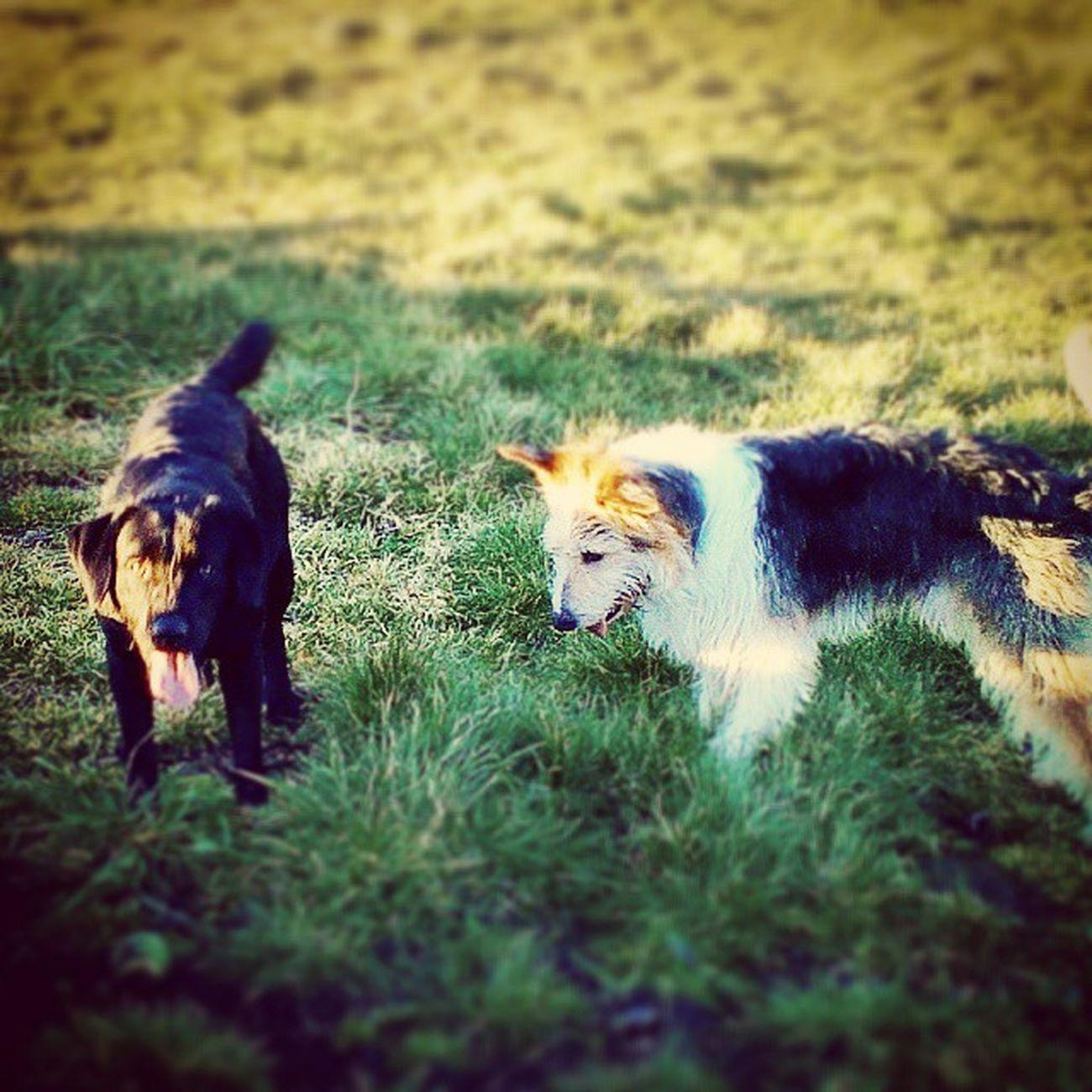 Jet and Bo 😊 Doggies Labrador Beardedbordercollie