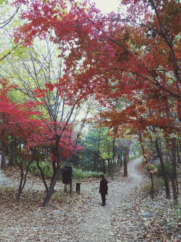 Maple Gingko Red Golden