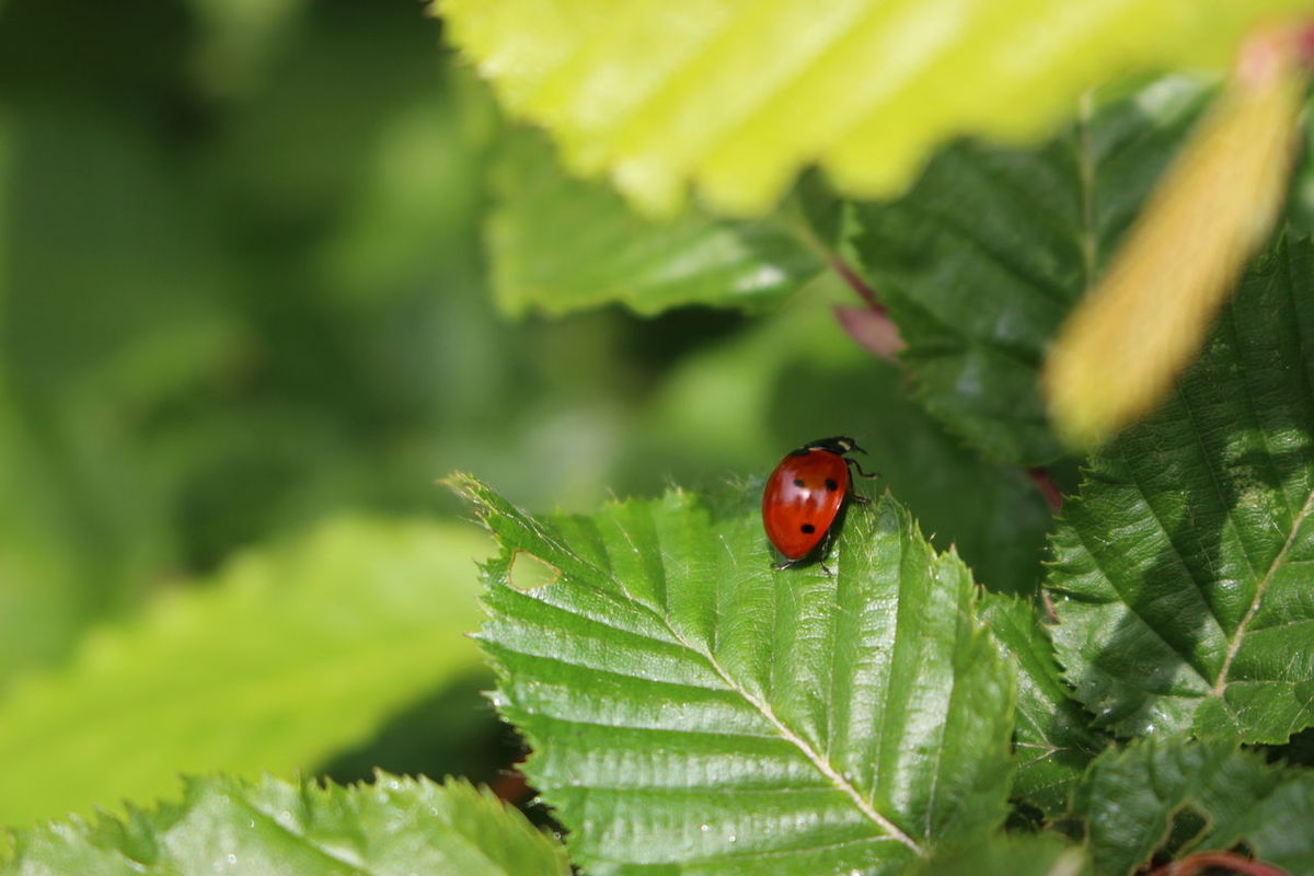 Animal Animal Antenna Animal Markings Animal Themes Animal Wildlife Beauty In Nature Bug Close-up Day Focus On Foreground Green Green Color Growth Insect Ladybug Leaf Macro Nature No People Outdoors Plant Selective Focus Wildlife Maximum Closeness