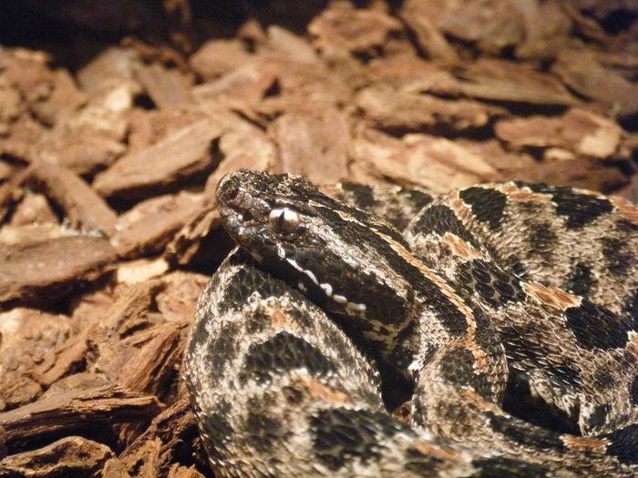 Snake Venom Poisonous Coil Eye Diamond Eye Skin Brown