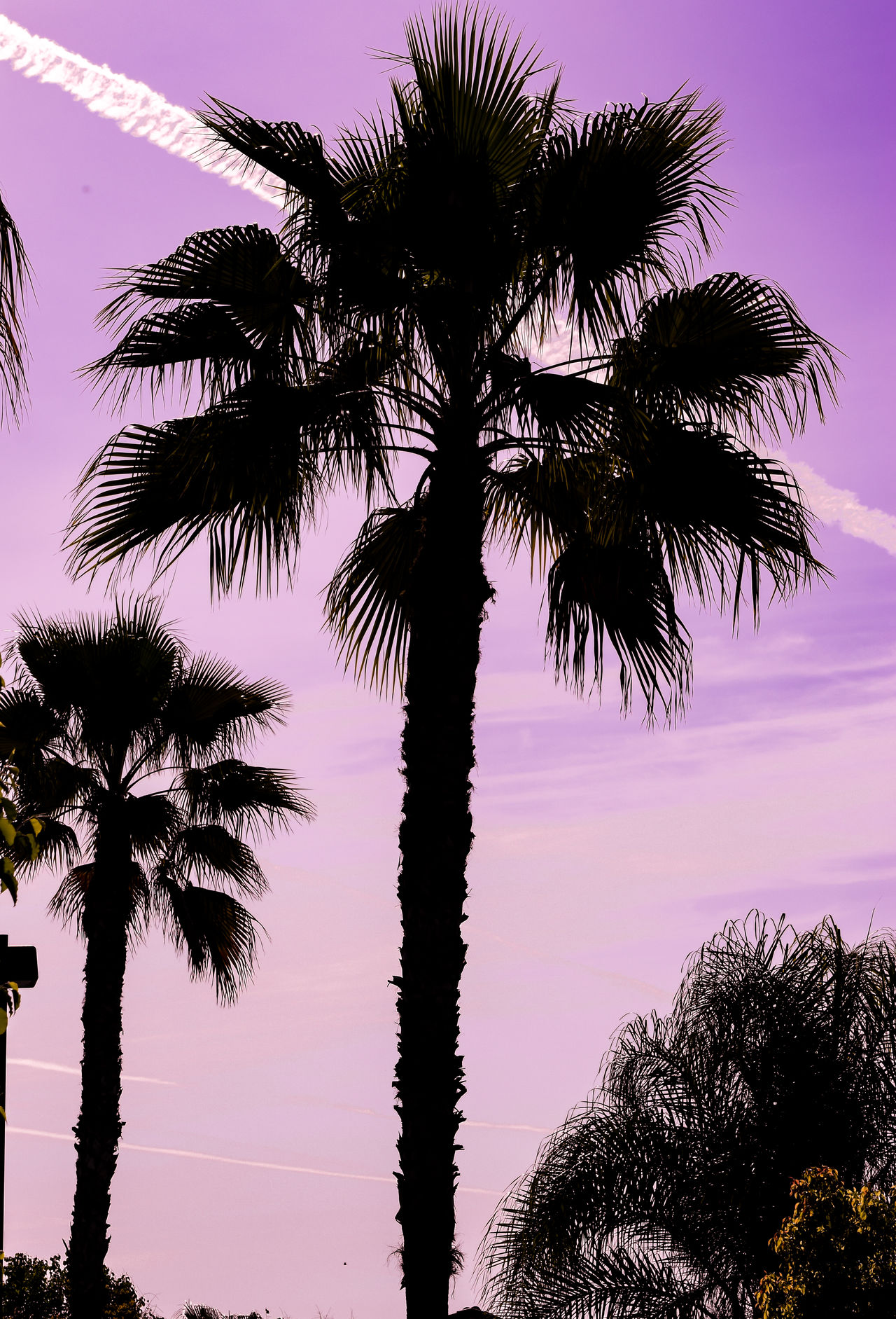Beauty In Nature Cloud - Sky Coconut Palm Tree Majestic Nature Outdoors Palm Tree Palm Tree Silhouette Palm Trees Purple Purple Sky Silhouette Sky Tall - High Tranquil Scene Tranquility Tree Tree Trunk