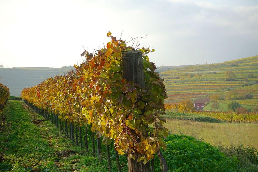 Wineyard Autumn Leaves Nature