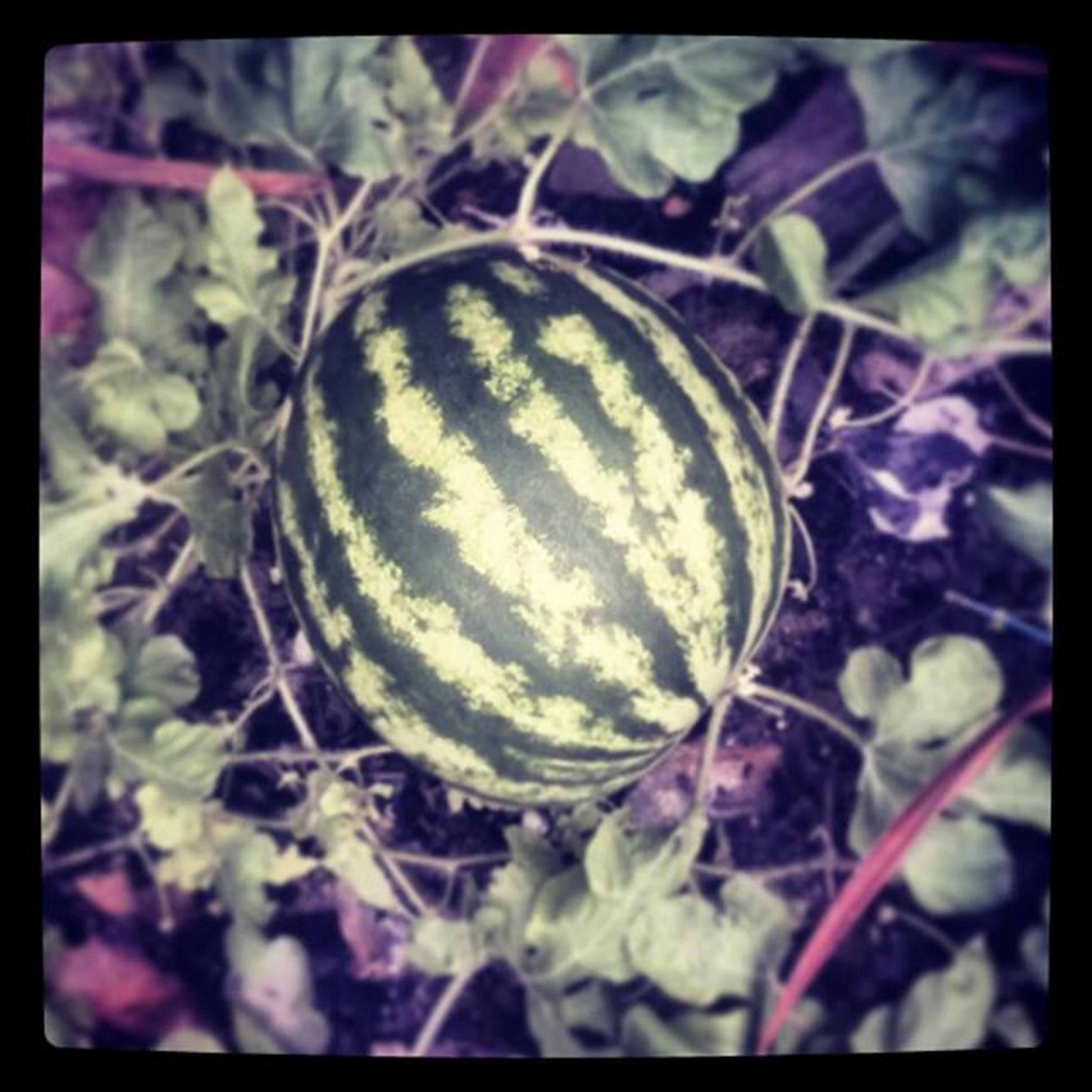 Orgulho :3 Vovó e eu conseguimos fazer essa melancia crescer,nada facil QueroComerLogo