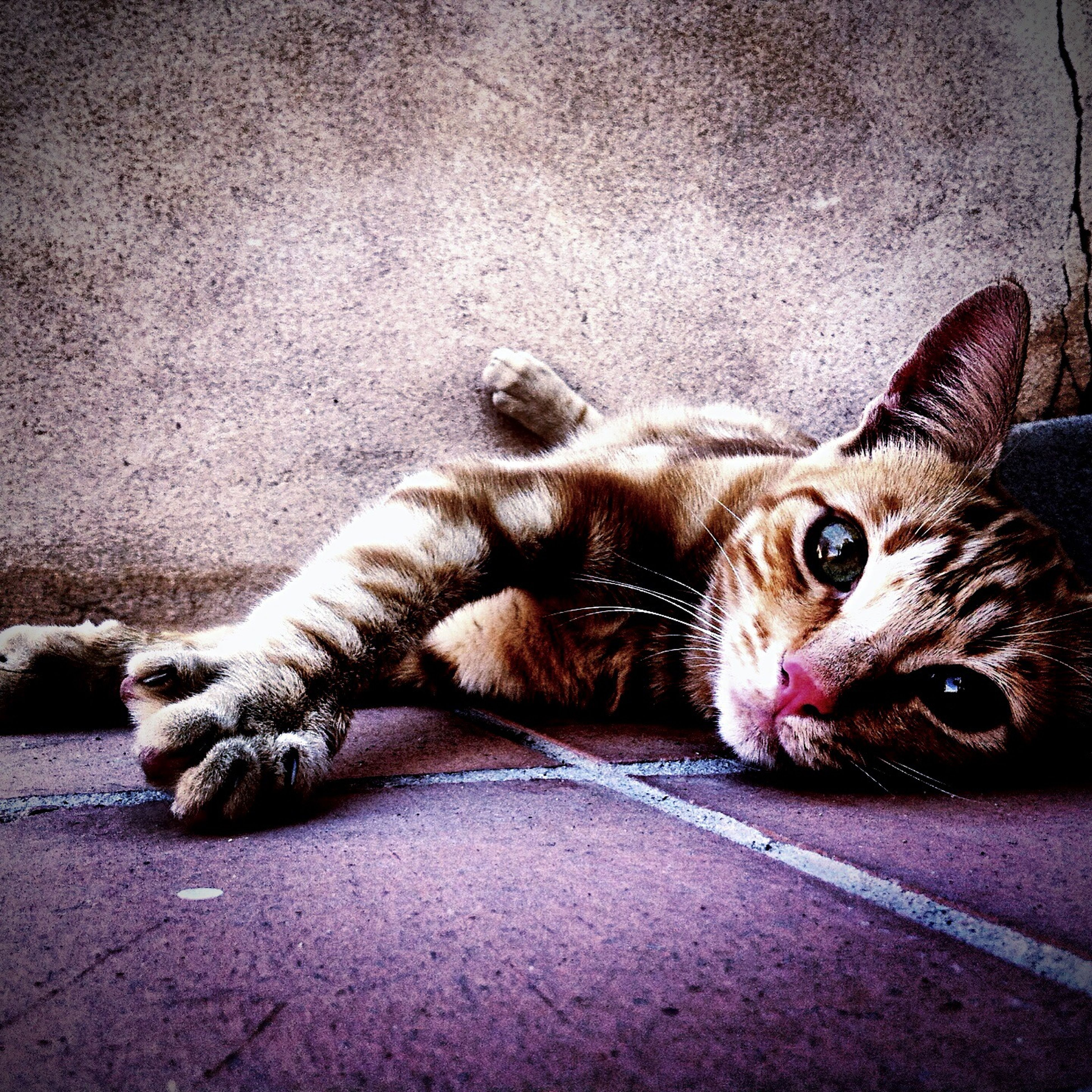 animal themes, domestic cat, pets, one animal, domestic animals, cat, mammal, feline, relaxation, lying down, portrait, looking at camera, resting, whisker, indoors, high angle view, street, wall - building feature, two animals, relaxing
