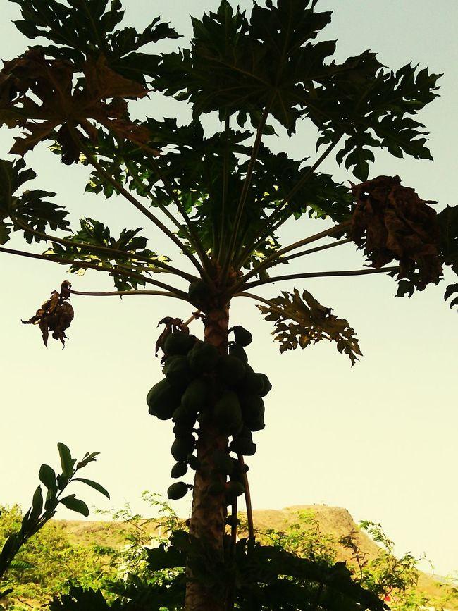 Capeverde Papaya_tree