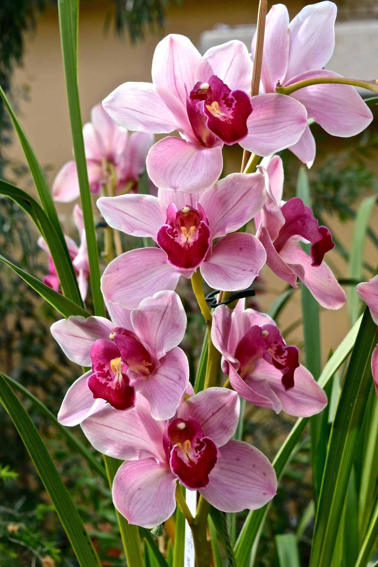 Beauty In Nature Close-up Flower Flower Head Focus On Foreground Fragility Nature No People Orchid Orchid Blossoms Orchid Flower Orchids Orchids Collection Orchidslover Petal Pink Color Plant