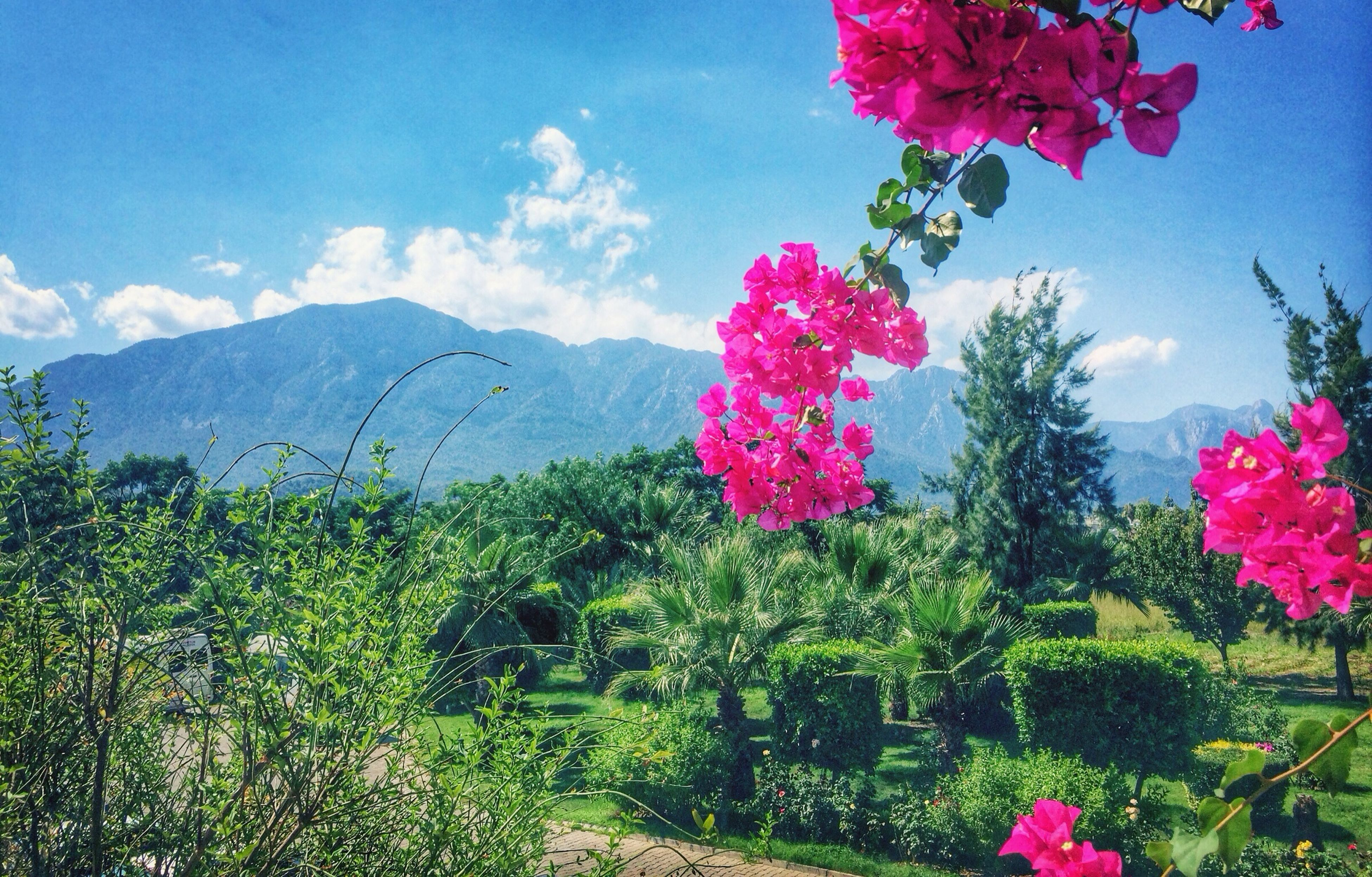 flower, freshness, pink color, fragility, growth, beauty in nature, sky, blooming, petal, nature, plant, tree, cloud - sky, in bloom, flower head, blossom, field, tranquil scene, day, tranquility
