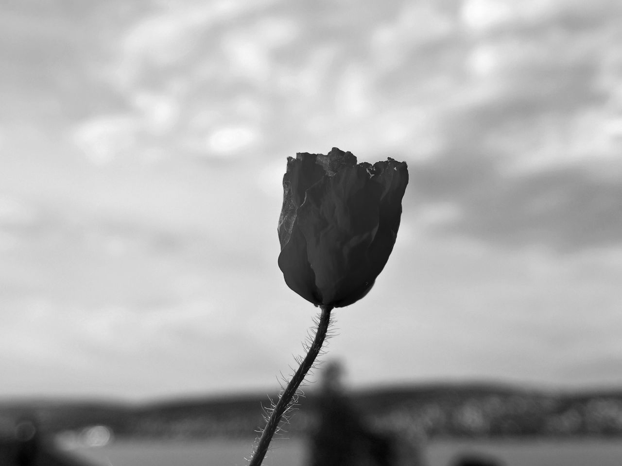 Balcony Balcony View Beauty In Nature Black & White Blackandwhite Blooming Close-up Flower Flower Head Focus On Foreground Fragility Freshness Growth Monochrome Monochrome Photography Nature Outdoors Petal Plant Poppy Flowers Spring Spring Flowers Springtime Summer Summertime