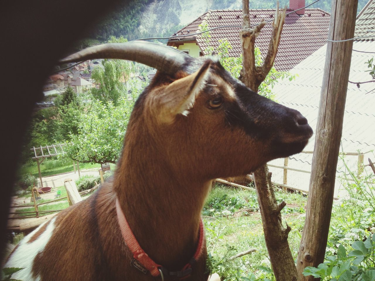 Close-Up Of Goat With Pet Collar In Barn