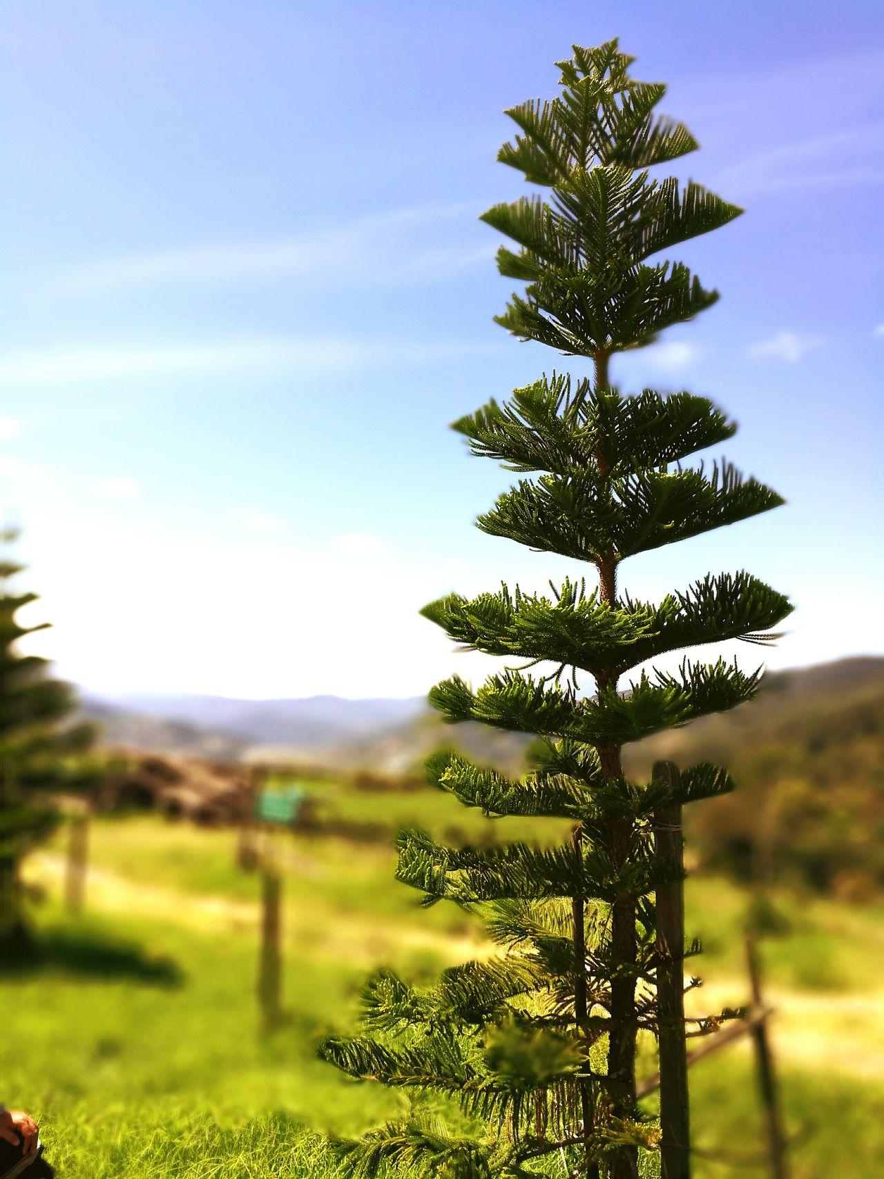 If Trees Could Speak Sabah Borneo Kota Kinabalu Kundasangview 🌲🌲🌴🌴