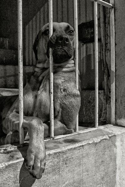 Dog behind bars 1/3 Bars Behind Bars Animal Themes Animals In Captivity Boring Dog Dreamer One Animal Street Photography Up Close Street Photography The Portraitist - 2016 EyeEm Awards Nature's Diversities