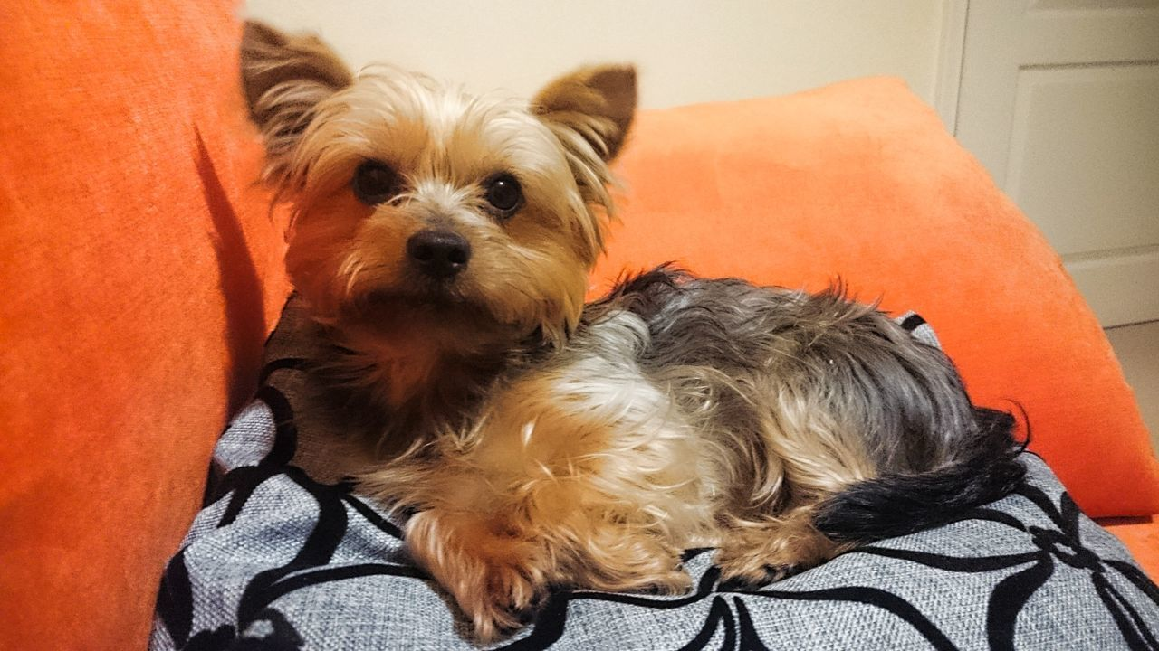 Taking Photos Check This Out Hello World Relaxing Hi! Yorkshireterrier Doggy Dogs Dog❤ Hunde Liebe ♡ Yorkshire Terrier Dogstagram Dogs_of_instagram Dogs Of EyeEm Taking Photos Eye4photography  My Dogs Are Cooler Than Your Kids Cute Pets Doggy Love Animal Photography Theothelittle