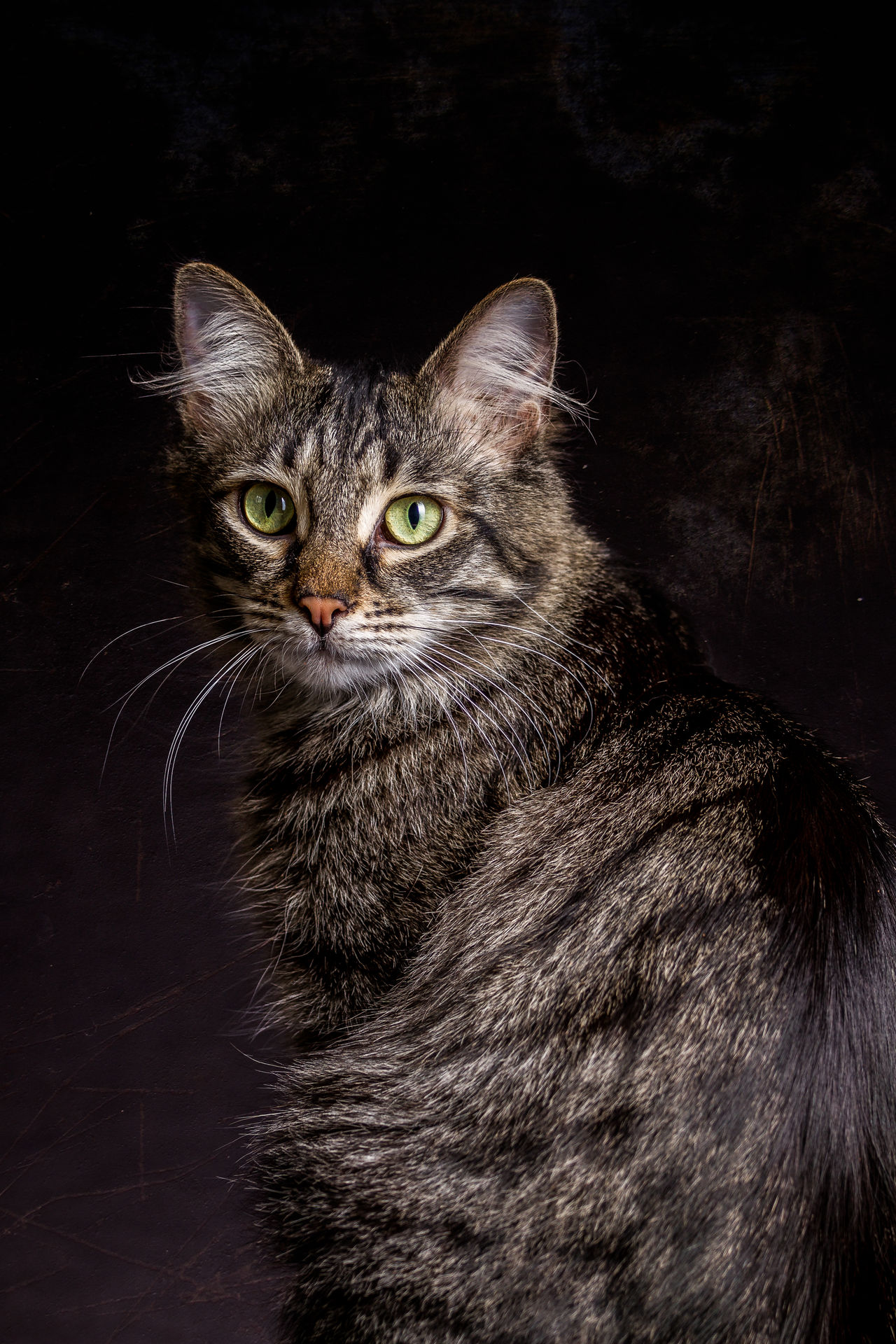 Housecat sitting attentively on black Background. Animal Themes Black Background Close-up Domestic Animals Domestic Cat Feline Indoors  Looking At Camera Mammal Night No People One Animal Pets Portrait Sitting Whisker