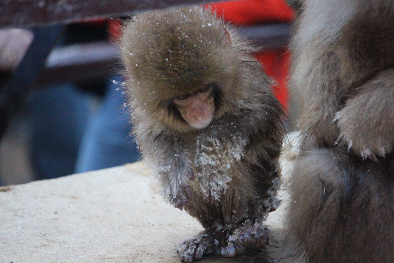 Animal Themes Animals In The Wild Cold Day Nature Outdoors Snow Monkey Baby Winter