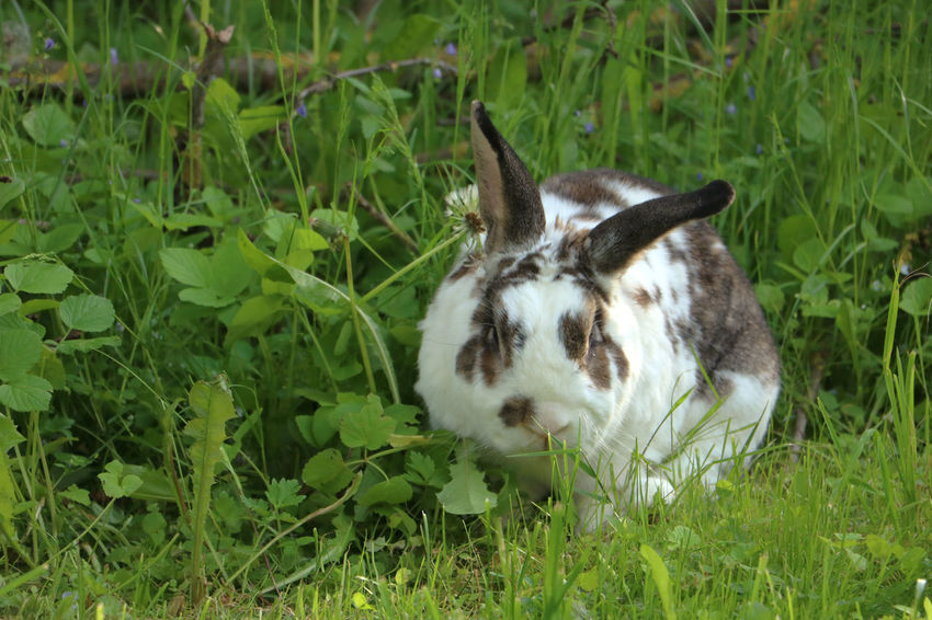 Brown and white rabbit,plant-eating mammal, with long ears, long hind legs, and a short tail, is sitting in the grass Animal Themes Bunny  Close-up Dandelion Day Domestic Animals Field Field Grass Grass Green Color Growth Mammal Nature No People One Animal Outdoors Pets Plant Rabbit Standing Summer Wildlife