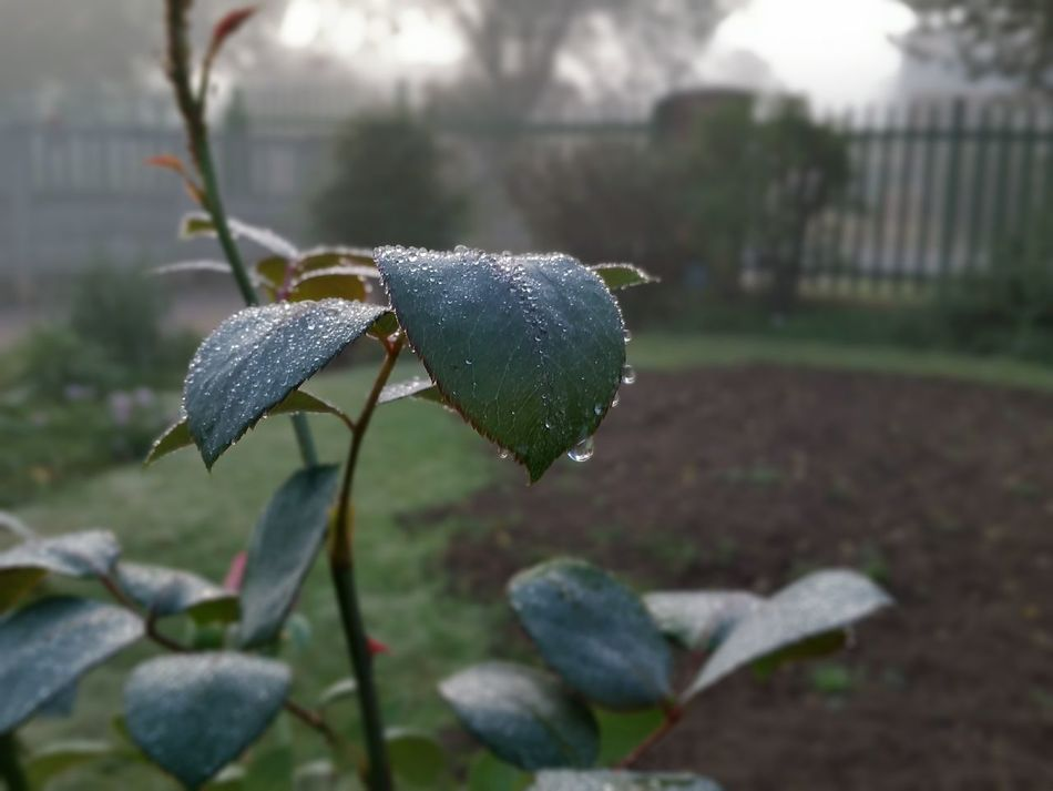 Misty Morning Taking Photos Early To Rise Catching The Best Of The Day Rose Bush South Africa Springs