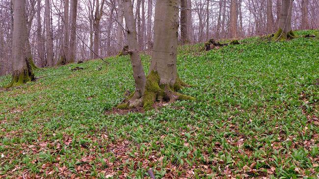 Bärlauchwiese im Wald Allium Ursinum Beauty In Nature Bärlauch  Field Forest Garlic Grass Green Color Growth Landscape Nature Non-urban Scene Scenics Tranquil Scene Tranquility Tree Tree Trunk Wood Garlic WoodLand