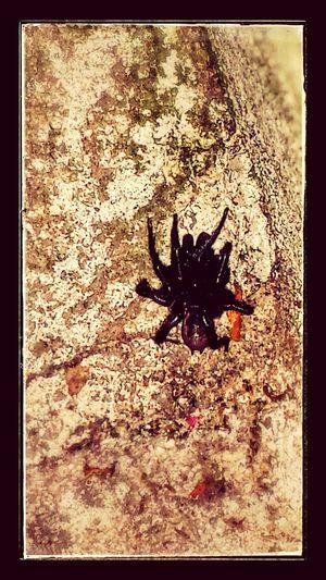 Folding Door Spider Oregon Arachnid Eww Hell Naw Scary