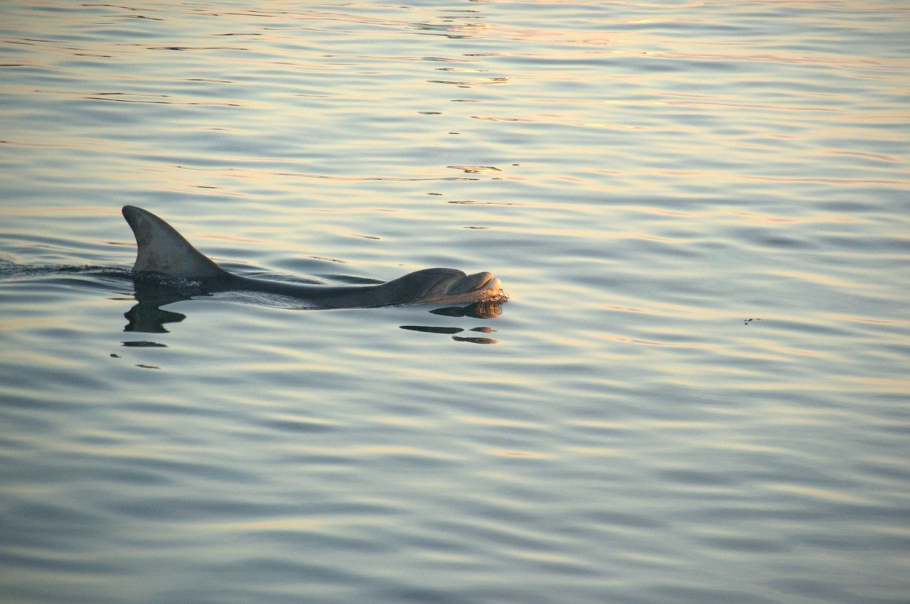 Animal Themes Animal Wildlife Animals In The Wild Beauty In Nature Day Dolphin Nature No People Outdoors Sealife Water Travel Visitaeroe Denmark Scandinavia Water, Sea, Ocean