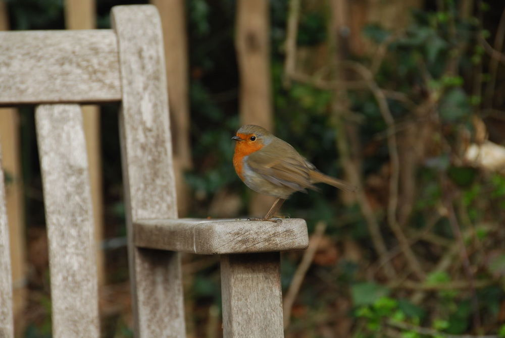 Robin Redbreast Robin Nature Photography Nikon Photographer Great Outdoors Nature Lover Wild Bird Erithacus Rubecula Outdoors Outdoor Photography Nature EyeEm