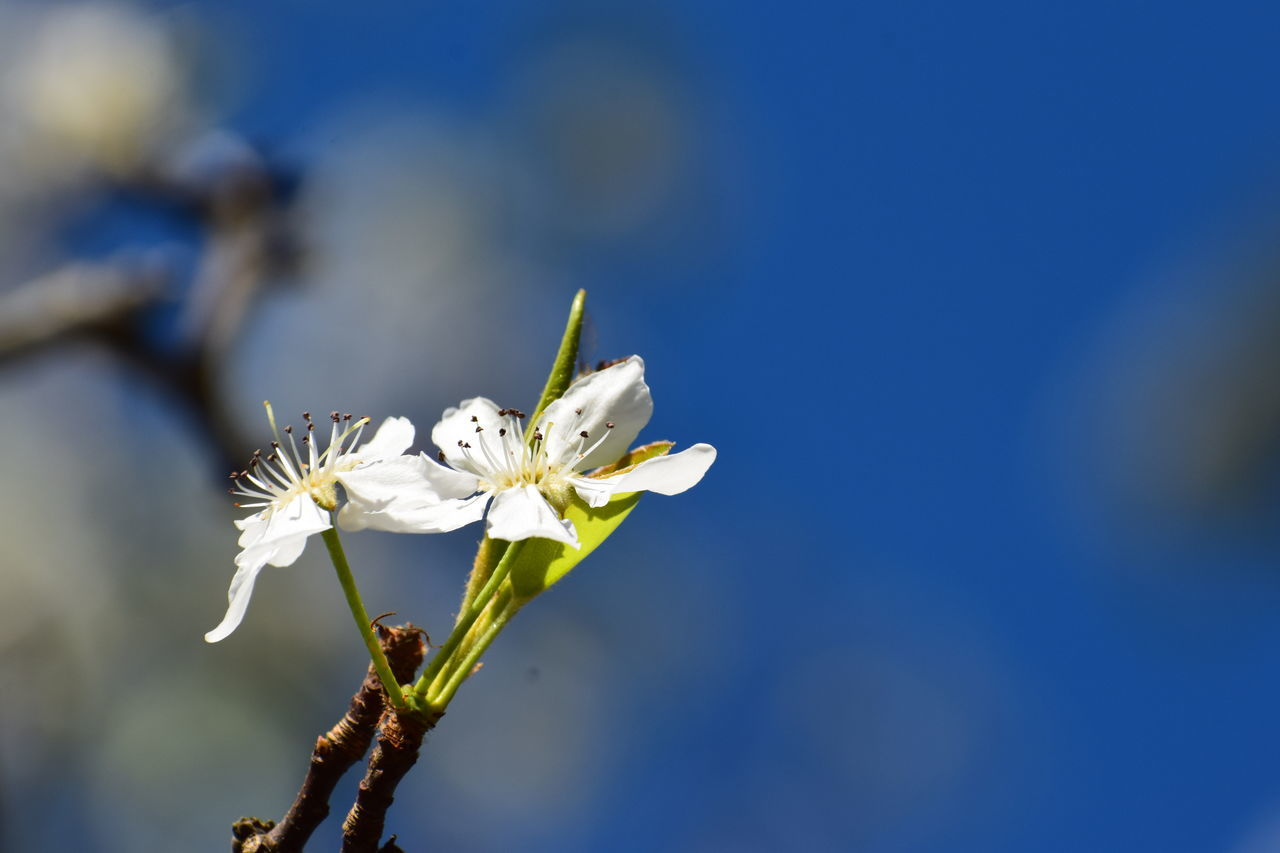 flower, fragility, white color, nature, beauty in nature, freshness, petal, growth, flower head, close-up, day, no people, outdoors, one animal, blue, focus on foreground, springtime, animal themes, tree