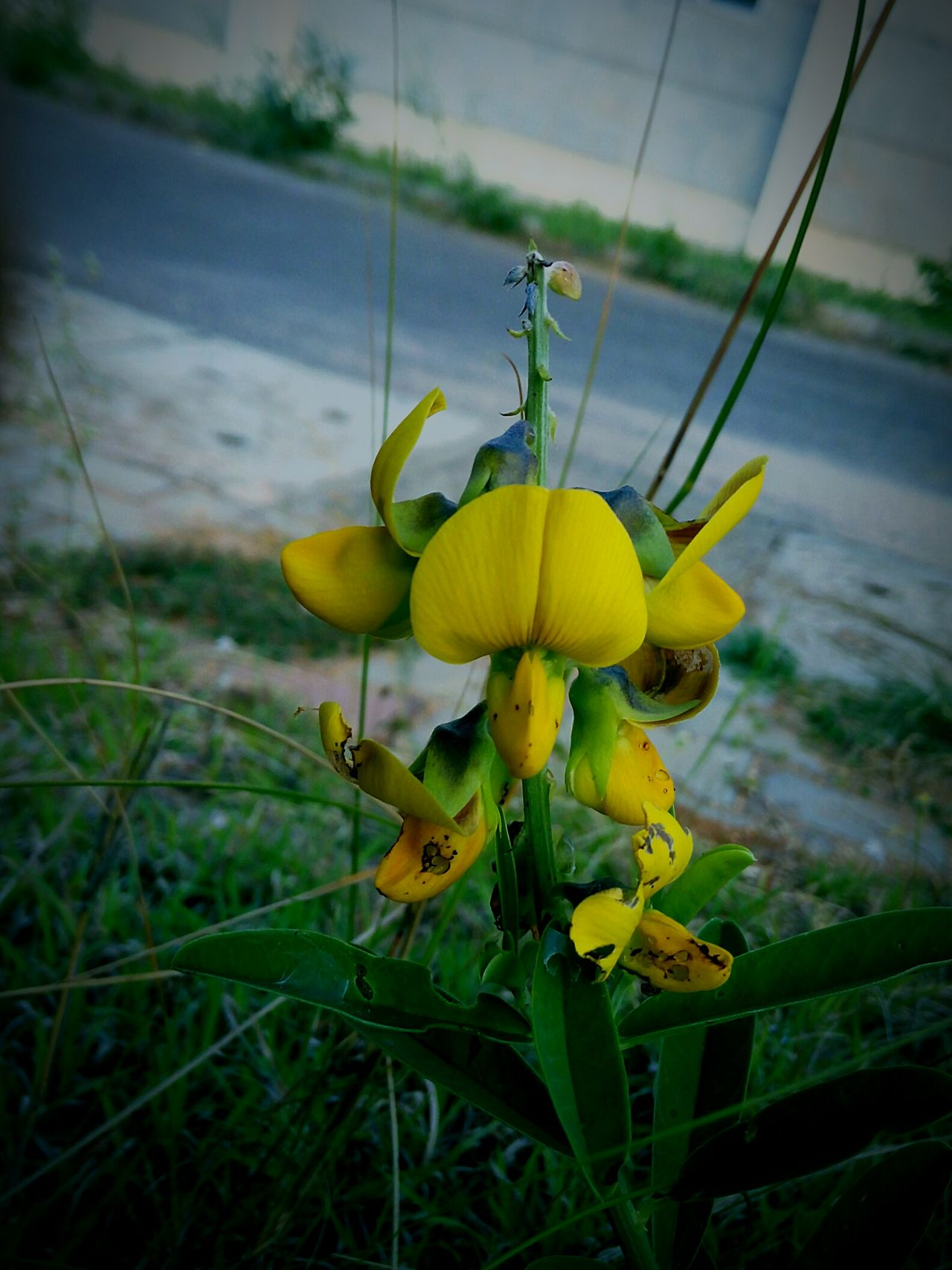 Yellow Flower Fragility Freshness Close-up Growth Beauty In Nature Springtime Vibrant Color