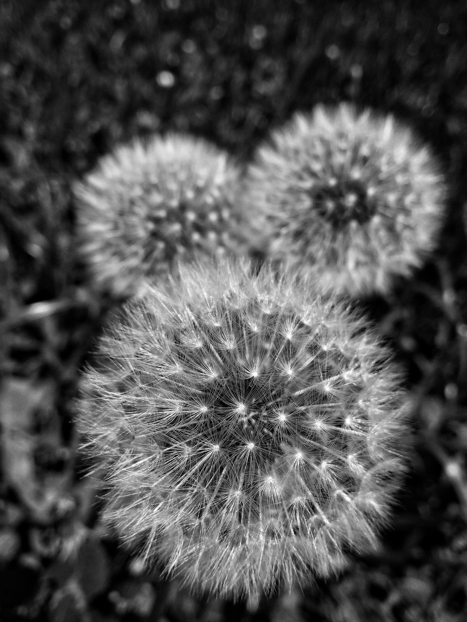 flower, dandelion, fragility, softness, nature, flower head, plant, growth, close-up, uncultivated, beauty in nature, freshness, no people, outdoors, day