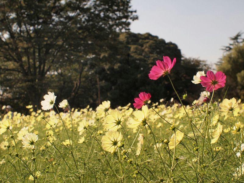 EyeEm Nature Lover Flowers コスモス Cosmos Flower Porn 秋 Takumar Olimpus