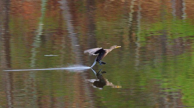 A cormorant coming in for a water landing on a lake Animal Themes Animals In The Wild Cormorant Coming In For A Landing On A Lake, Reflections Oh The Water, Lake And Bird One Animal Side View Trees Reflected In The Water Wildlife Zoology