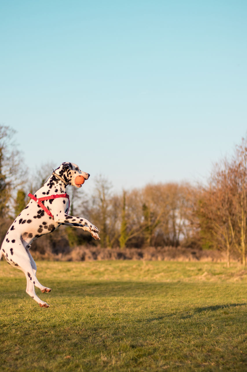 one animal, animal themes, day, field, outdoors, grass, nature, tree, pets, clear sky, playing, domestic animals, full length, mammal, no people