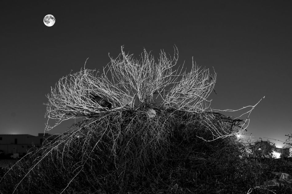 dead shrub and moon at night Beauty In Nature Blackandwhite Photography Full Moon, Low Angle View Moon Nature Night Nightphotography No People Shrub,