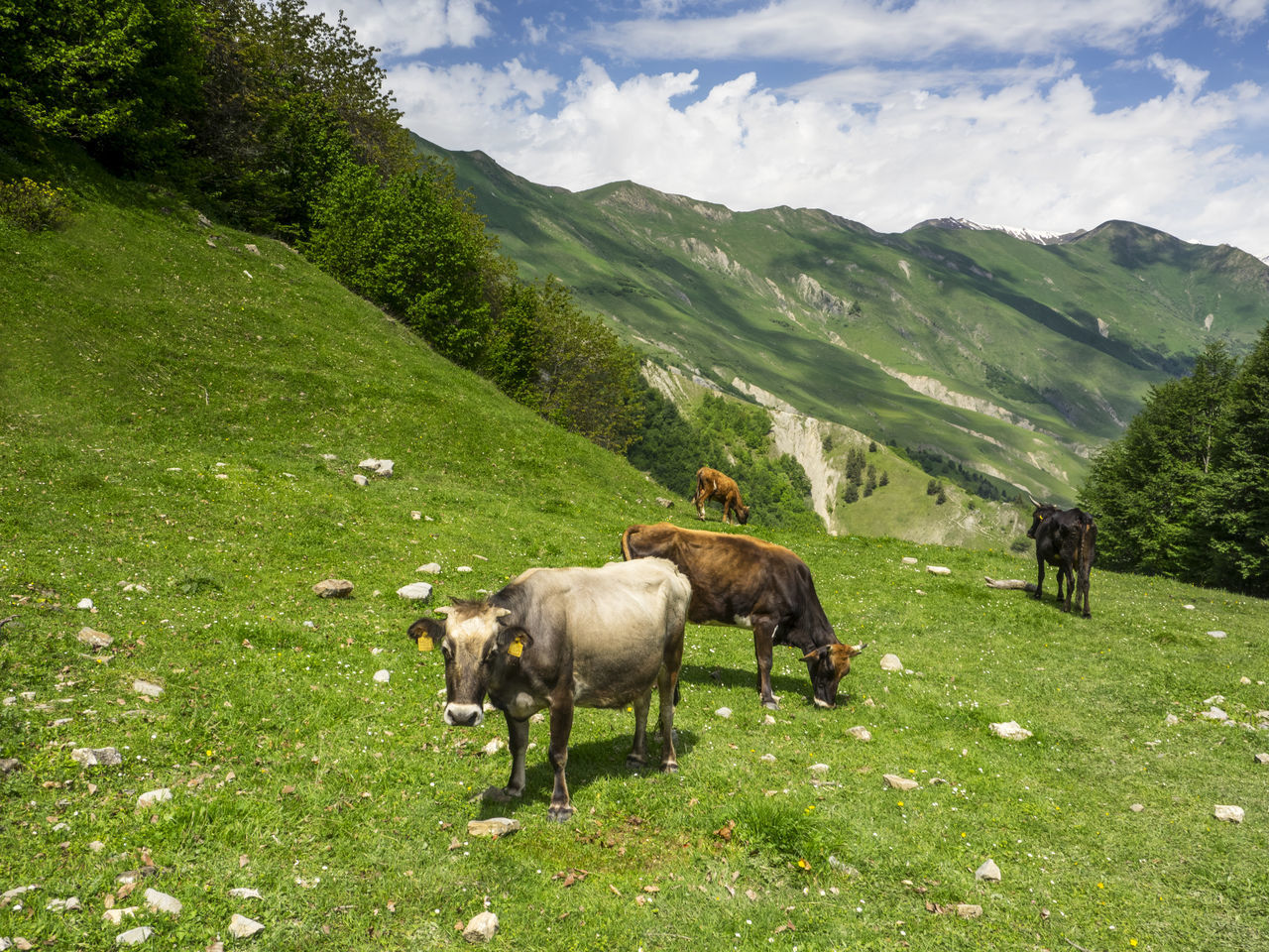 High Angle View Of Cows Grazing In Meadow On Hill