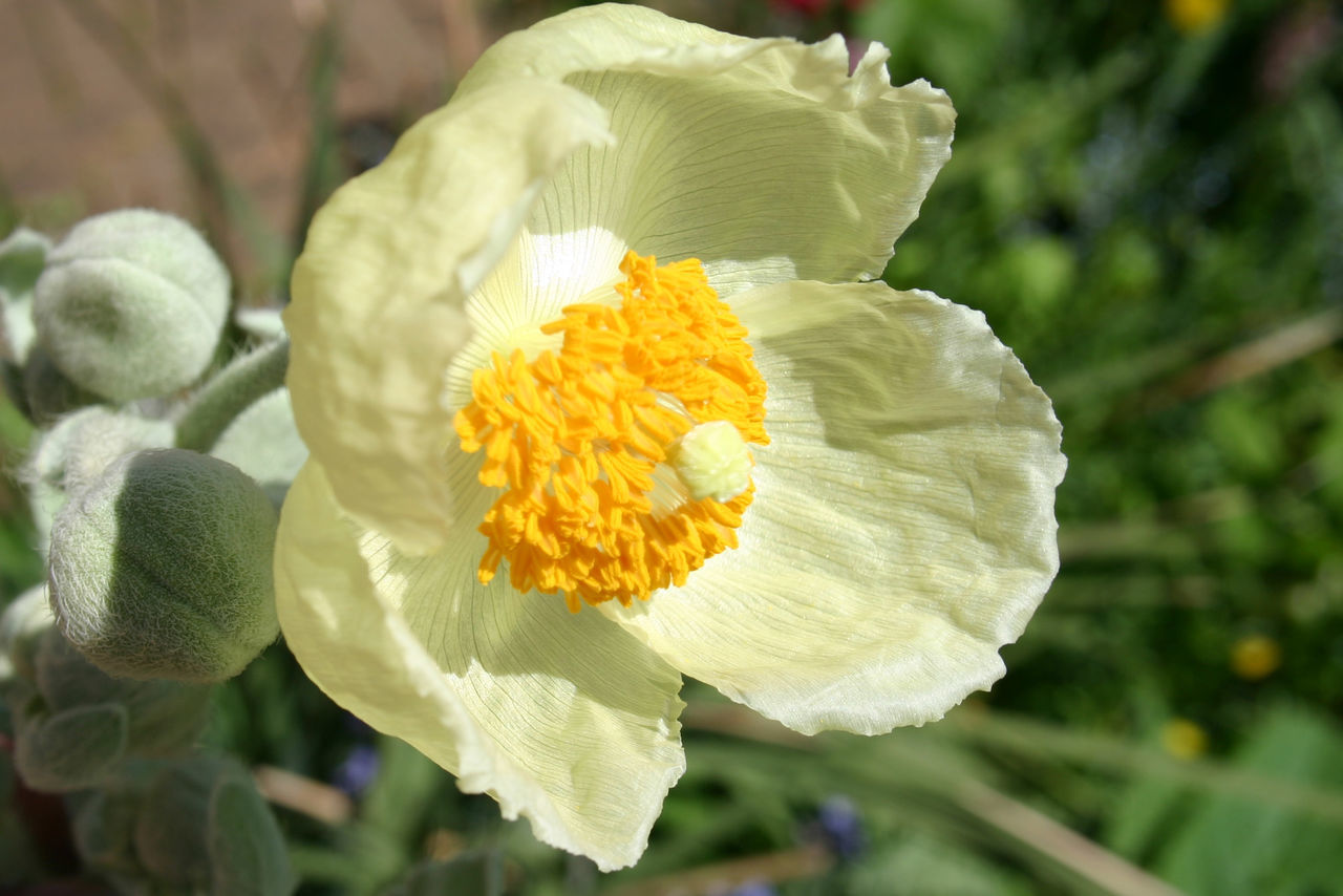 Beauty In Nature Blooming Close-up Day Flower Flower Head Focus On Foreground Fragility Freshness Growth Himalayan Poppy Himalayas Mecanopsis Nature No People Outdoors Petal Plant Poppy Flowers Yellow