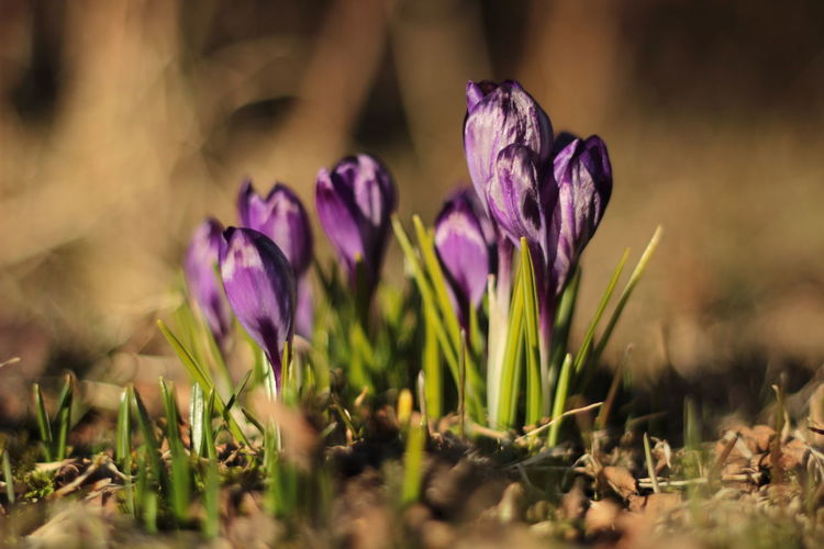 Crocuses Crocuses Spring Day Spring Spring Flowers Spring Time Springtime Sunshine Violet Flowers Yellow Yellow Flower
