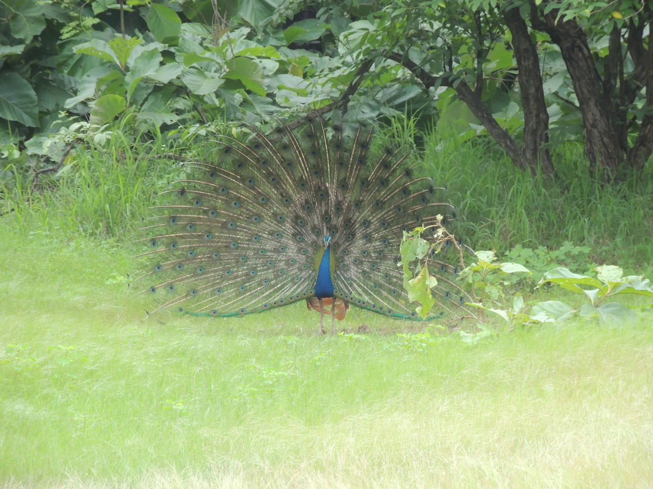 Animal Themes Beauty In Nature Bird Day EyeEmNewHere Fanned Out Feather  India Nature Outdoors Peacock Peacock Feather Without Edit ^^