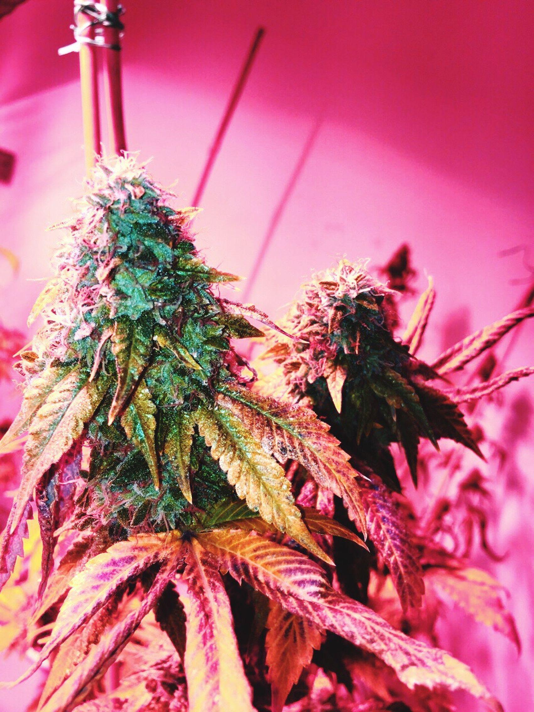 Strawberry Kush Grow Your Own Strawberry Strawberry Kush Girl Scout Cookies Marijuana Ganja Dank Topshelflife Girls Who Smoke Girlswhogrow