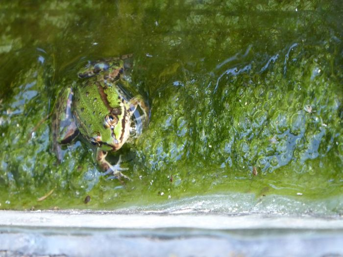 HelloEyeEm Swimming Nature Pond Life Favorite Place Last Days Of Summer Relaxing With Little Frogs At The Pond Frogs Sunbathing At The Pond Beauty In Nature Relaxing Time Love Frogs😍😄