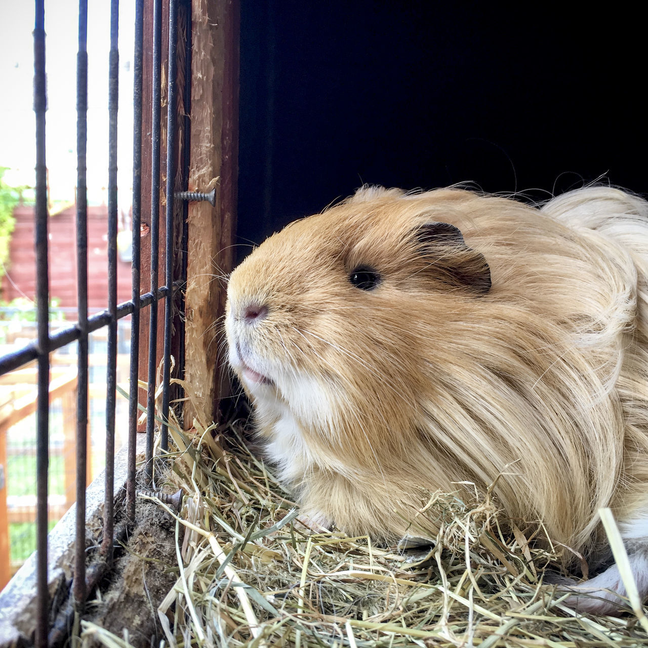 Beautiful stock photos of guinea-pigs,  Alertness,  Animal Head,  Animal Themes,  Animals In Captivity