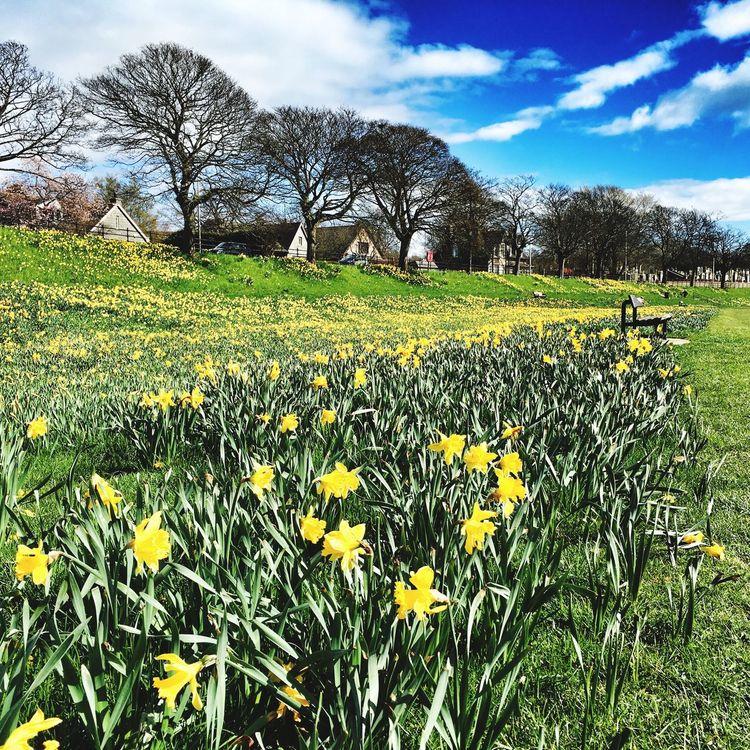 Daffodils by the Dee Daffodils Spring Springtime River Dee  River Dee  Riverside Flowers Aberdeen Aberdeenshire Aberdeen Life