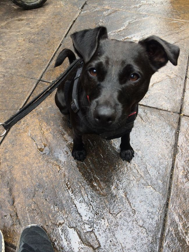 Wet Dolly the Patterdale dog Domestic Animals Pets Dog One Animal Animal Themes Mammal Looking At Camera Black Color Portrait Outdoors High Angle View Day No People Sitting Standing Close-up Patterdale Patterdale Terrier Mixedbreed Wetdog Dolly Wet Walthamstow