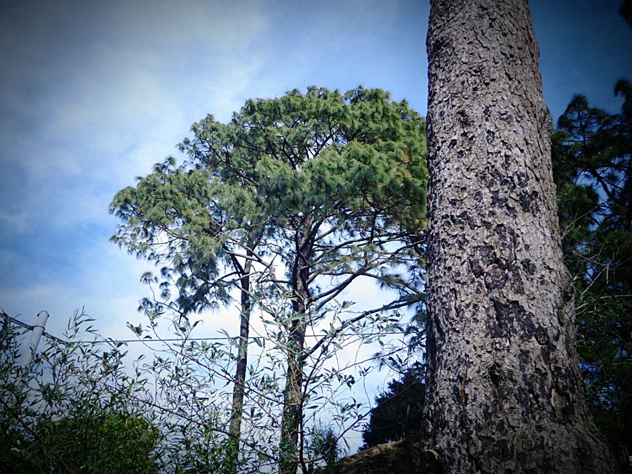 tree trunk, tree, nature, growth, day, forest, low angle view, no people, outdoors, tranquility, tranquil scene, beauty in nature, sky, scenics, branch, close-up