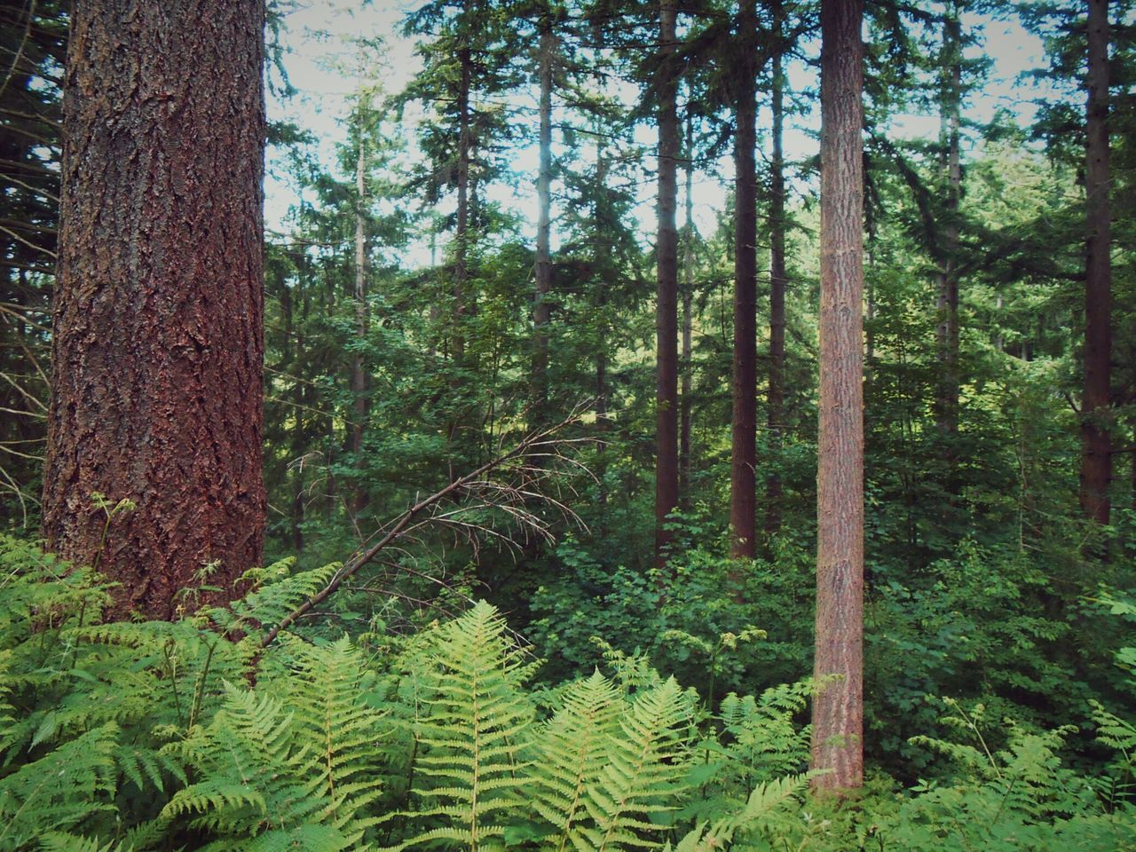 Trees grow taller together. .. Forest Woods Trees Conifers Wales Welshpool Ferns Лес папортник деревья