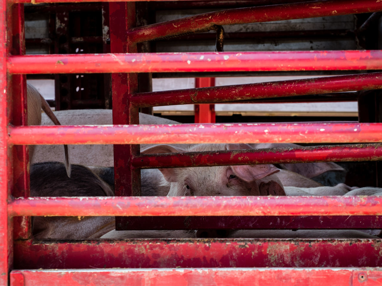 Animal Bars Behind Bars Conscience Creature Crowded Eyes Eyes Of The Cre Hugging A Tree Life Penned Pent-up Pig Pigs Pork Pork-to-be Red S Selling Vegetable Vegetarians Veggie
