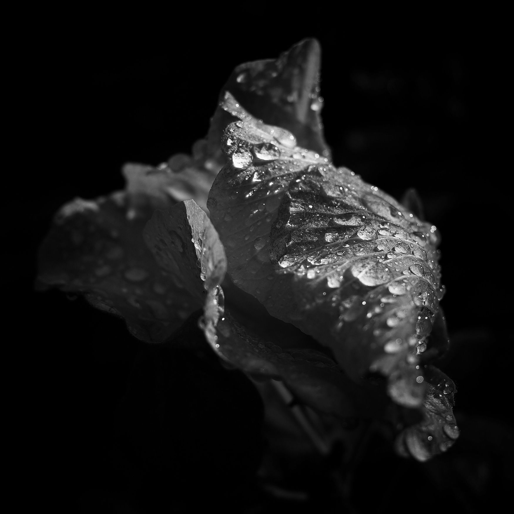 Hibiscus Cotton Hibiscus Black And White Light And Shadow Raindrops Flower Flower Head