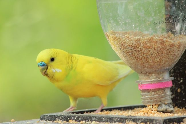 Maximum Closeness Tiny Bird Yellow Animal Themes Close-up Bird Food And Drink Plastic Bottle Corn No People Budgerigar Freshness Day