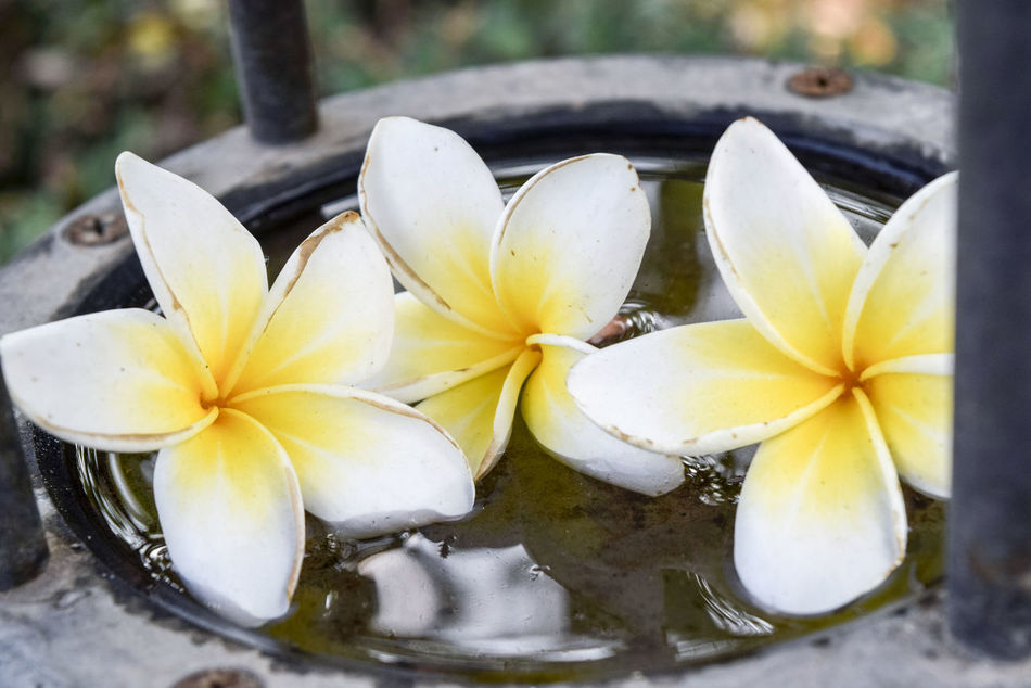 Beauty In Nature Close-up Day Flower Flower Head Fragility Frangipani Freshness Growth Nature No People Outdoors Petal Water Wet